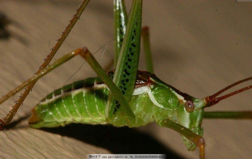 蝗虫 昆虫 生物世界 摄影