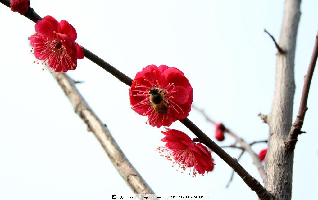 梅花 植物 树 红色 白色 五彩 树枝 蜜蜂 花 寒梅 蓝天 绿色 采蜜