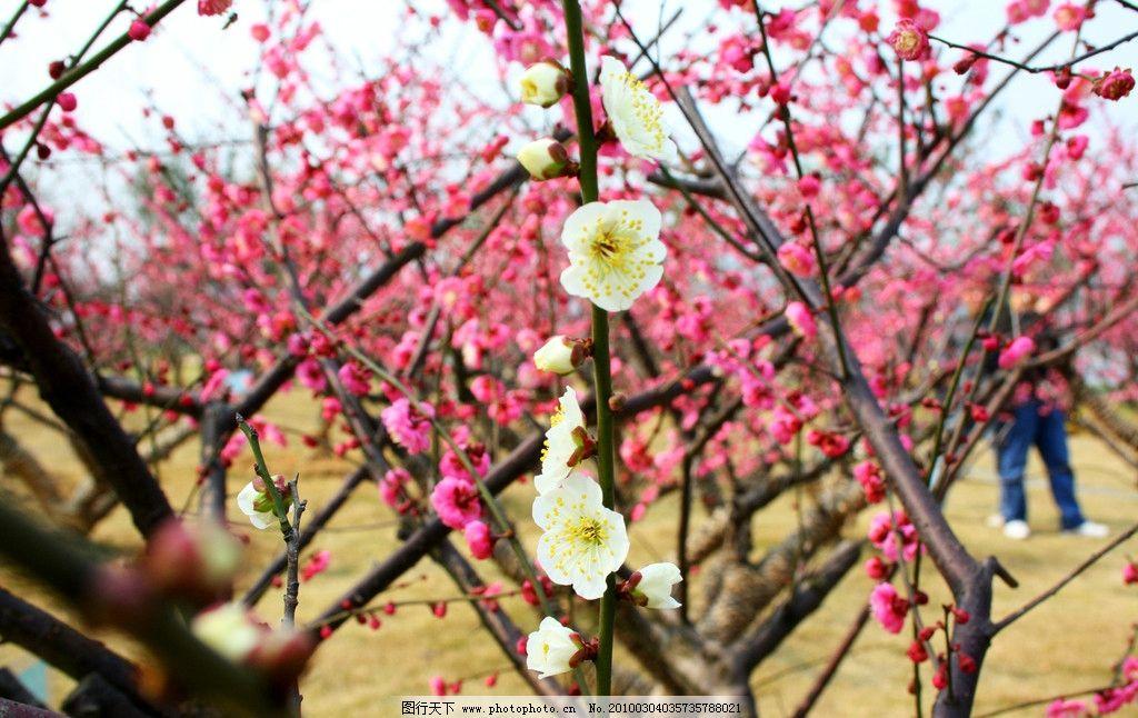 梅花 植物 树 红色 白色 五彩 树枝 蜜蜂 寒梅 蓝天 绿色