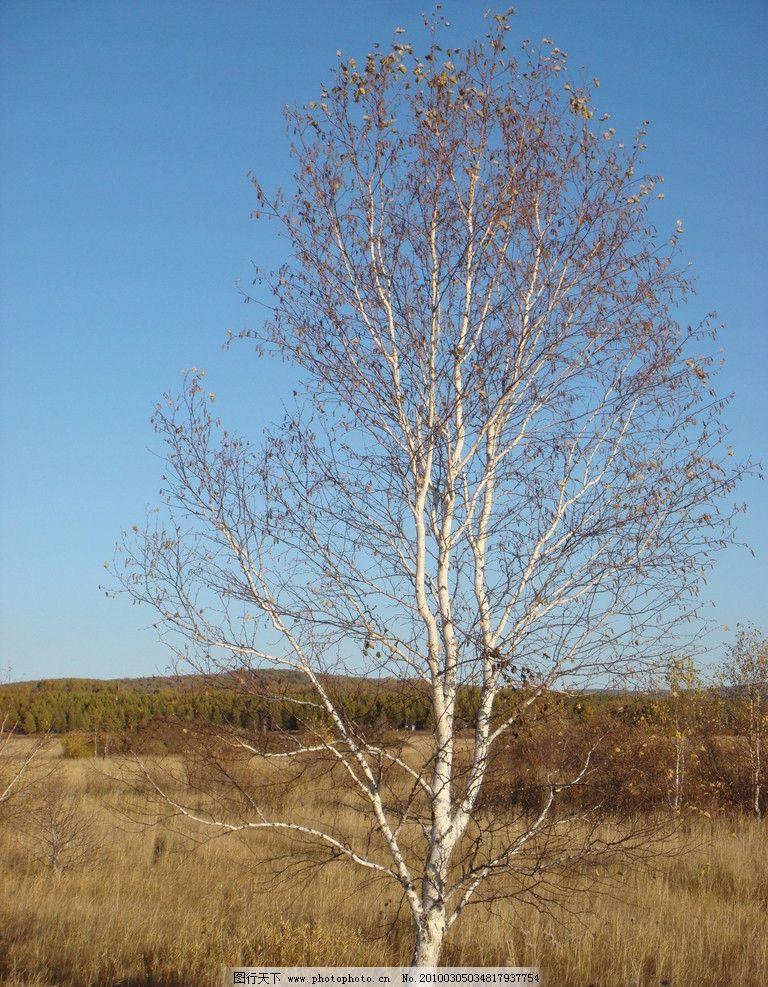 白杨树 树草 枯草 空旷 自然风景 自然景观 摄影 72dpi jpg