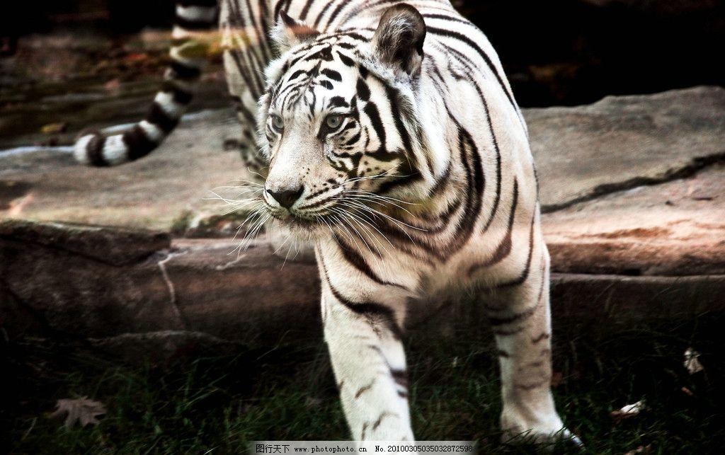 白老虎 野生动物 生物世界 摄影 300dpi jpg
