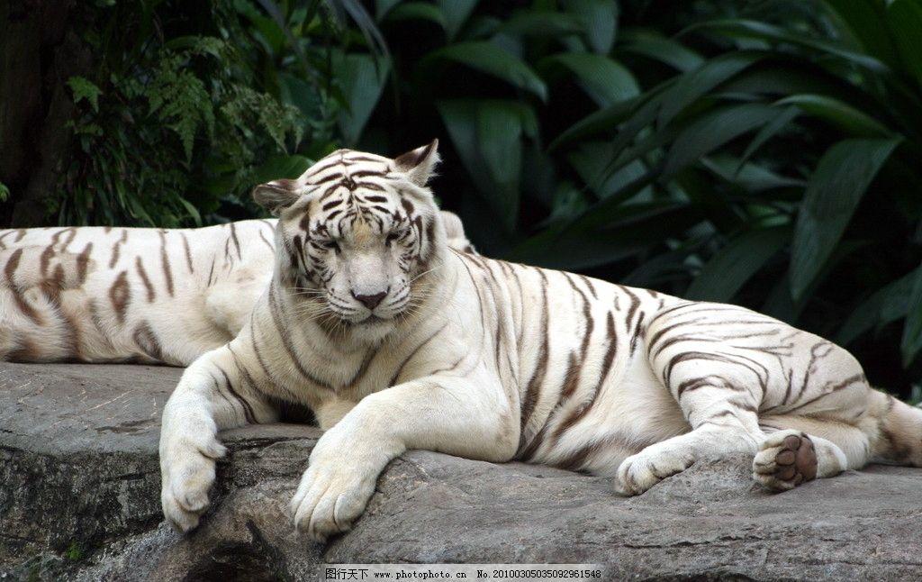 白老虎 野生动物 生物世界 摄影 72dpi jpg