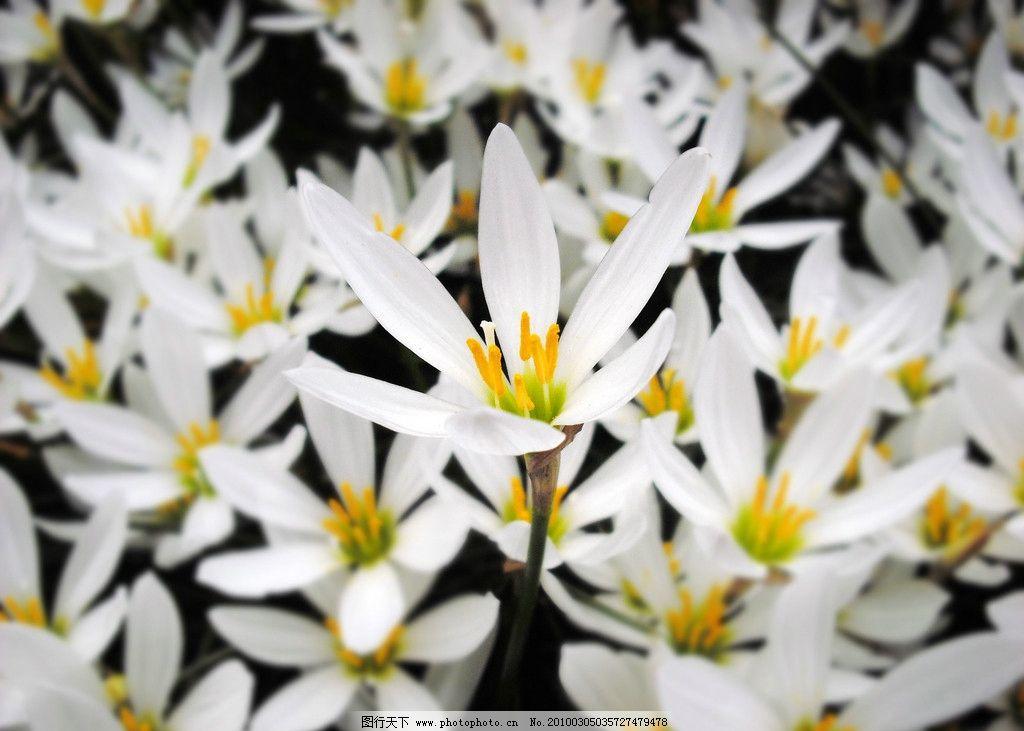 葱兰 兰花 花朵 屏保 高清 一枝独秀 花草 生物世界 摄影