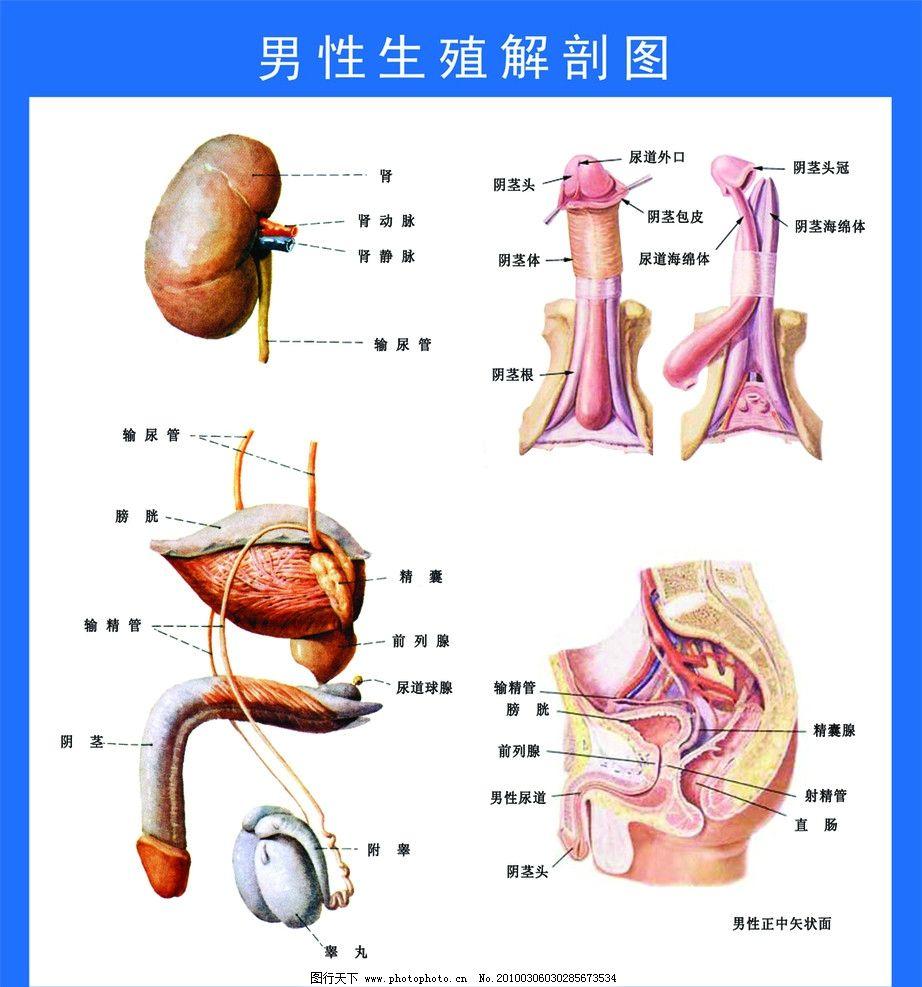 男性生殖解剖图 肾 泌尿系统 睾丸 阴茎 广告设计模板 源文件