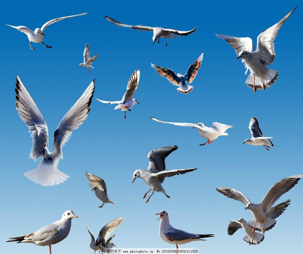 飞鸟 鹭鸽鹤禽 飞翔 百鸟 白鸟 姿态 海鸟 鸥 天空 雀