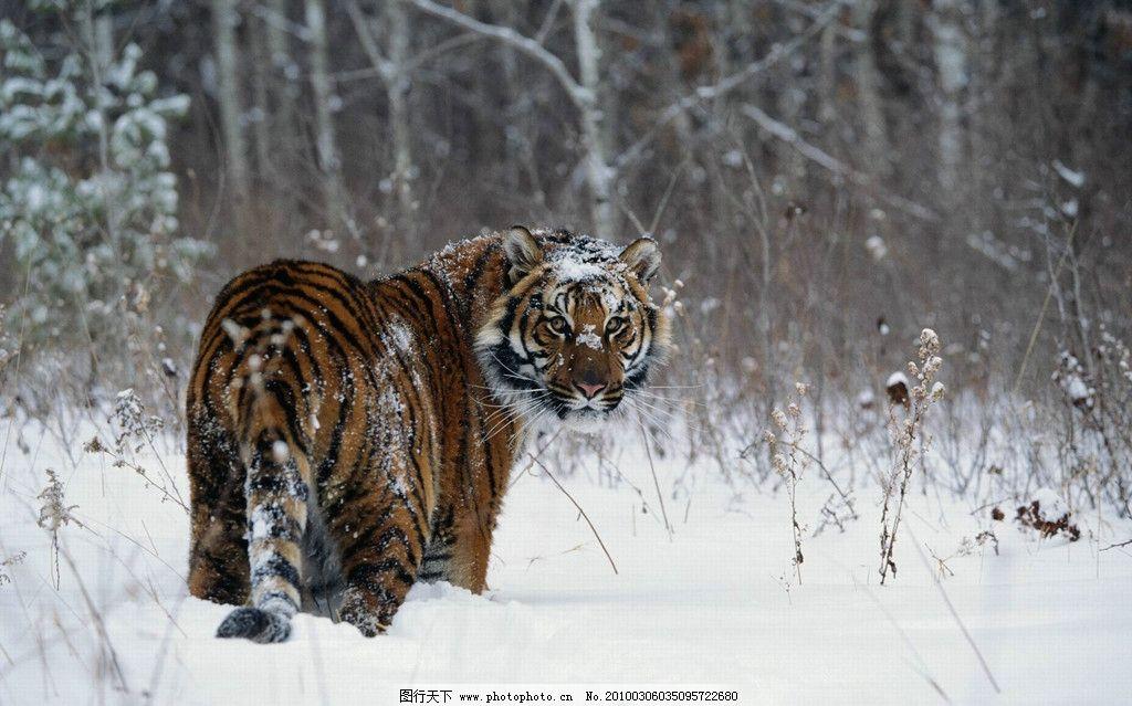 老虎 东北虎 雪 北方 森林 野生动物 生物世界 摄影