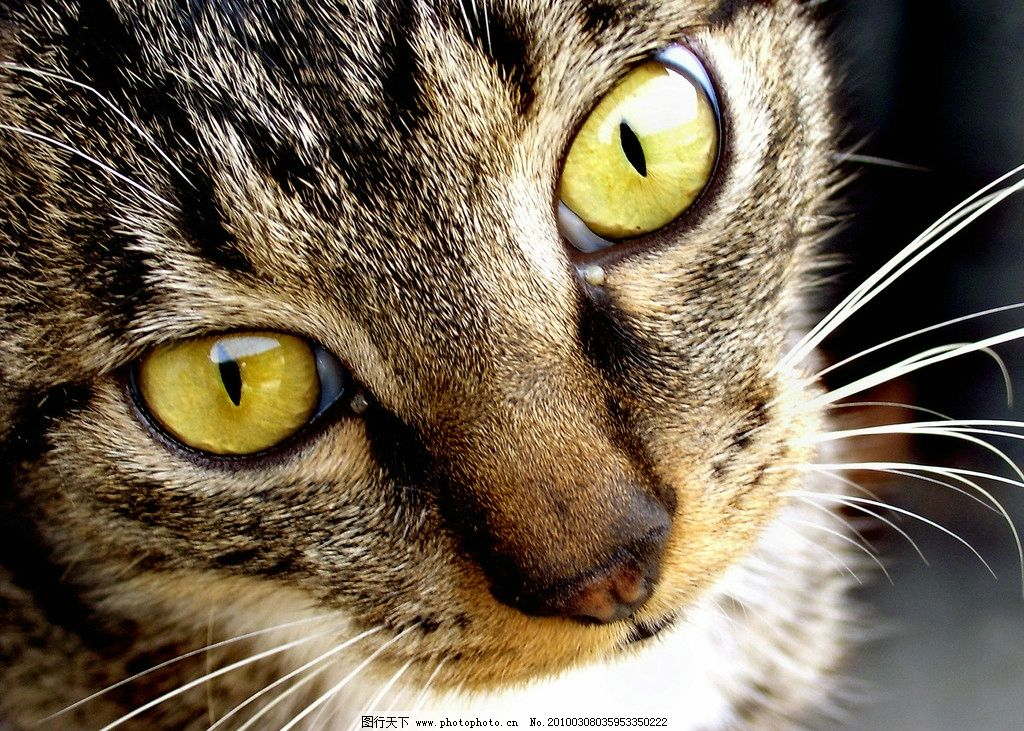 眼神 动物摄影 猫咪 家禽家畜 生物世界 摄影 300dpi jpg