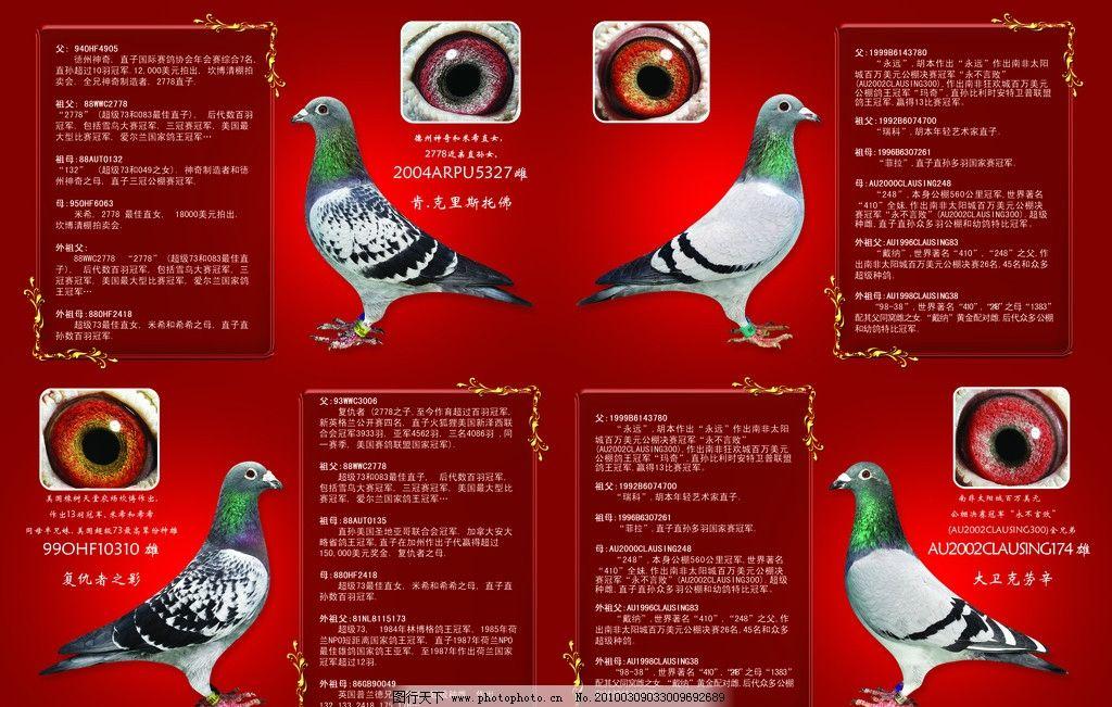 鸽子宣传单页 鸽子 红色底纹 金色边框 宣传单页 psd分层素材 源文件