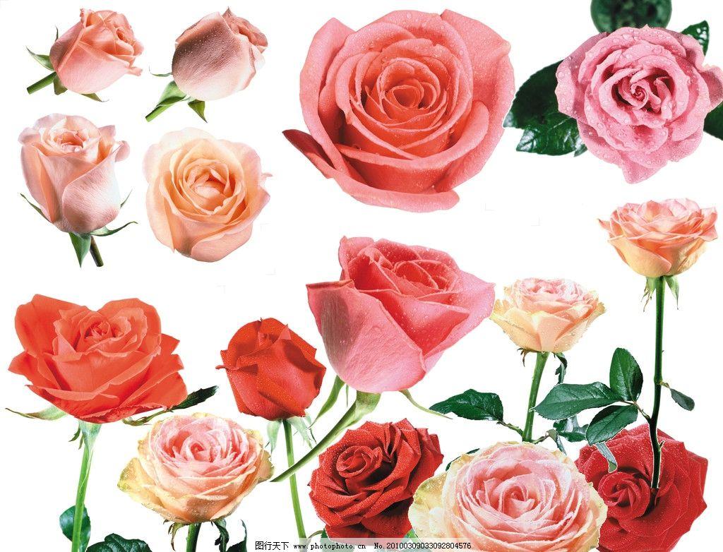 设计图库 psd分层 其他  玫瑰花 红玫瑰 粉玫瑰 白玫瑰 各种玫瑰高清