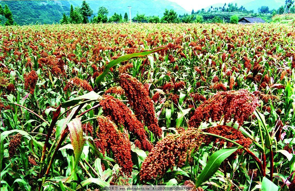 高粱 红高粱 高粱种植基地 自然风光 酿酒专用 高粱种植 田园风光