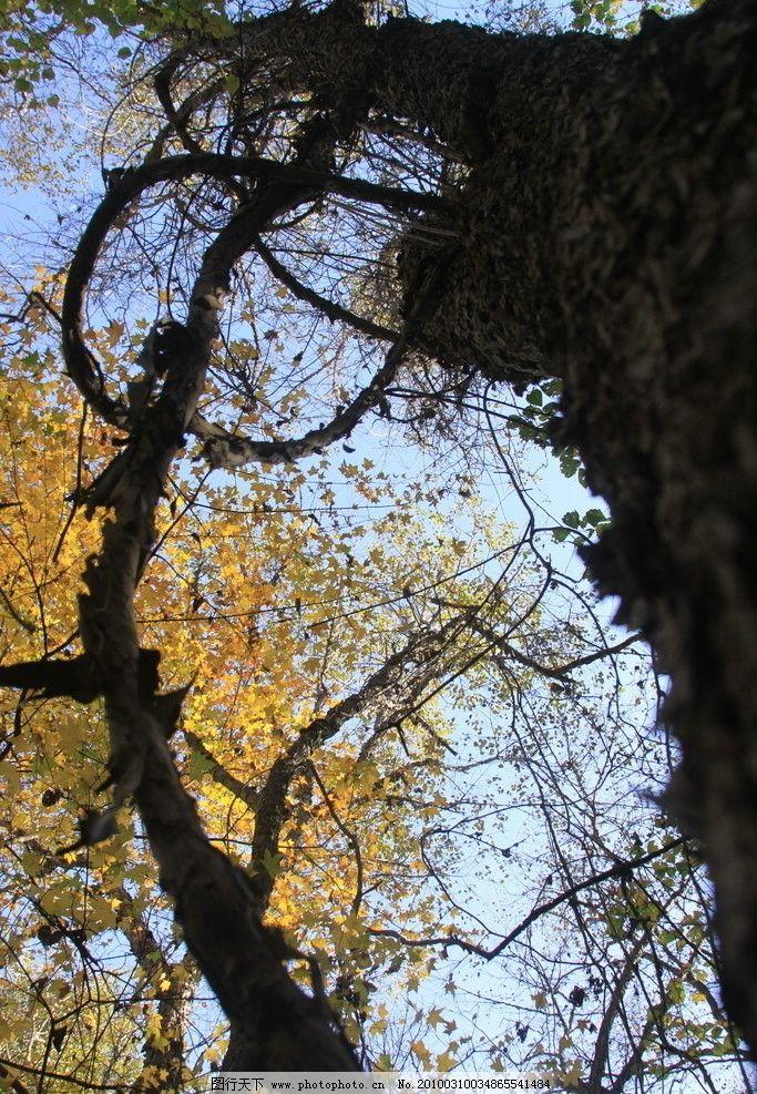 藤盘树 山葡萄藤 大树 秋天 原始森林 黄叶 原始森林的秋天 自然风景