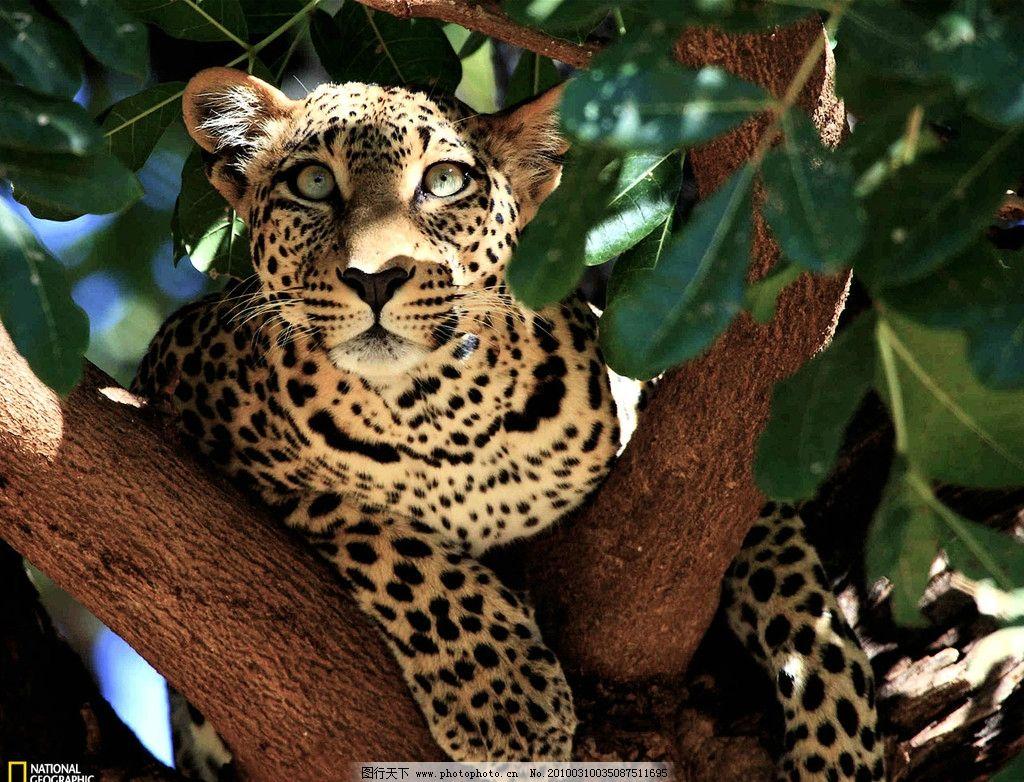 金钱豹 国家地理频道 猫科动物 最快的动物 摄影