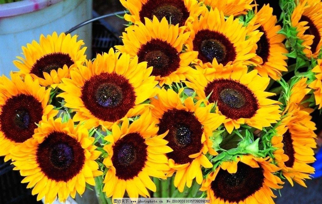 向日葵 太阳花 自然风景 自然景观 摄影 72dpi jpg