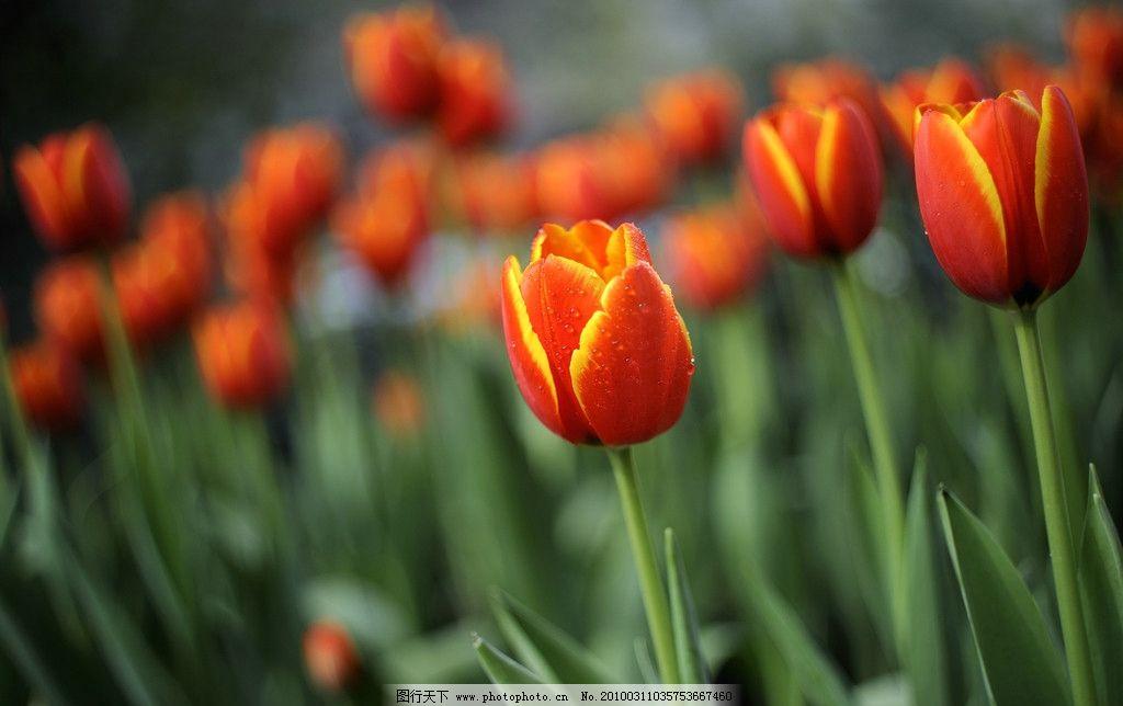 郁金香 红色 春天 美丽 鲜花 花圃 花草 生物世界 摄影 300dpi jpg