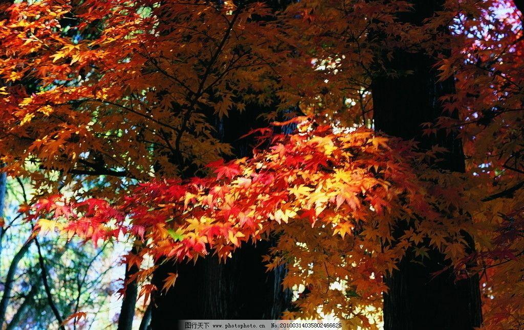 秋天的红枫叶图片