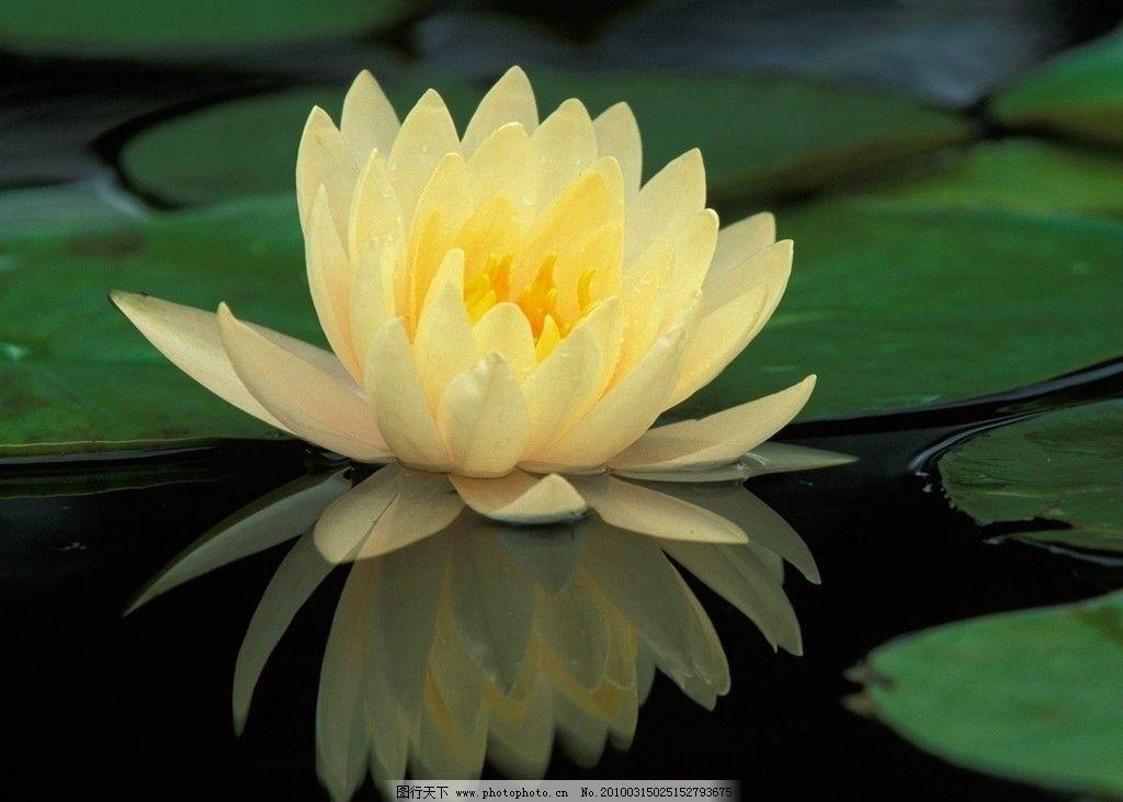 莲花矢量图图片