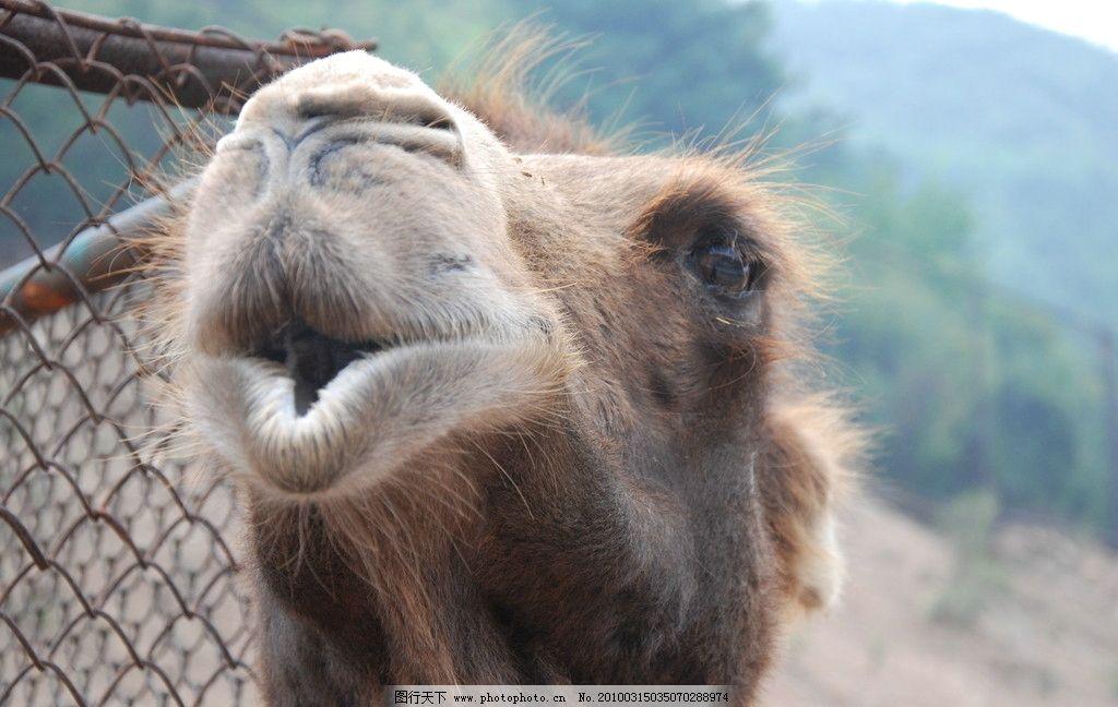 骆驼 头部 特写 野生动物 生物世界 摄影 300dpi jpg