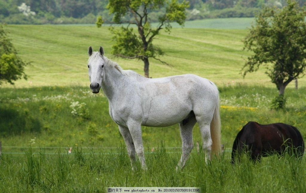 绿色草地上的白马 野生动物 生物世界 摄影