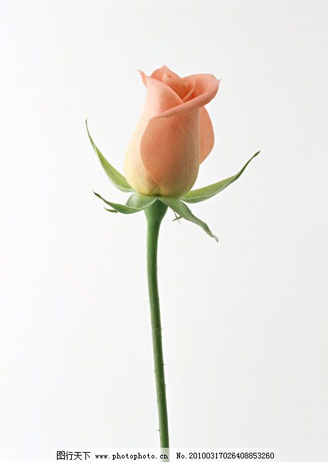 一支玫瑰 一支玫瑰免费下载 粉色玫瑰 高清 节日 图片素材 风景生活旅