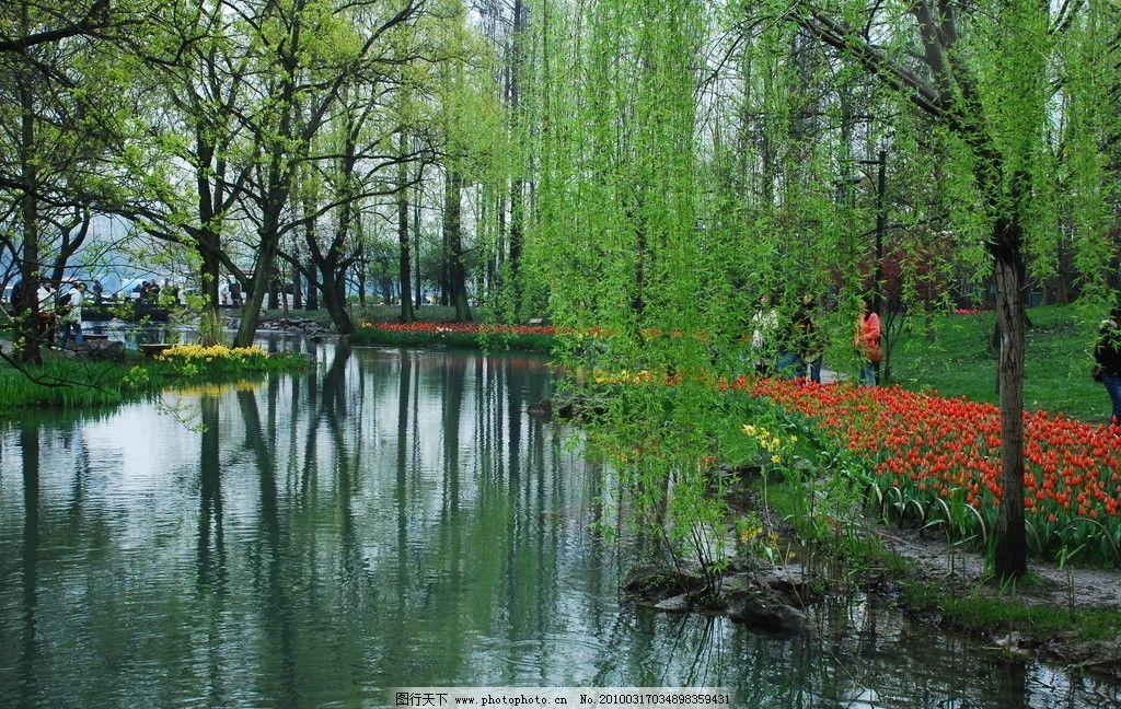 公园景色 摄影图库 柳树 春天 郁金香 流水