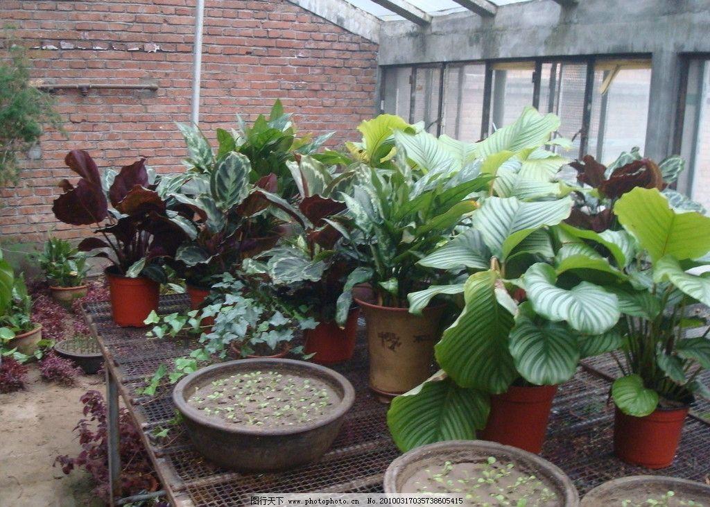植物 绿叶 花盆 阔叶 叶子 房子 花房 砖墙 玻璃窗 窗户 动物植物