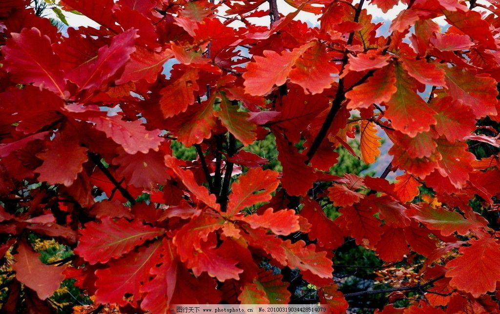 一叶知秋 停车坐爱枫林晚 霜叶红于二月花 迷人的红叶 咏枫之绝唱