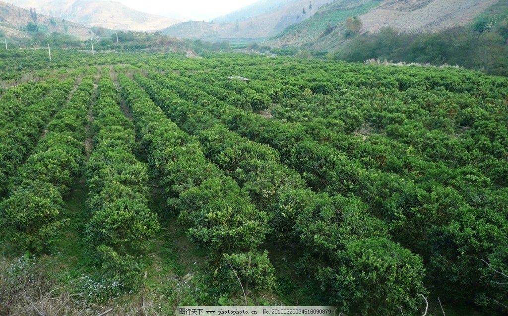 砂糖桔 沙糖桔 沙糖桔果园 果园 砂糖桔果园 田园风光 自然景观 摄影