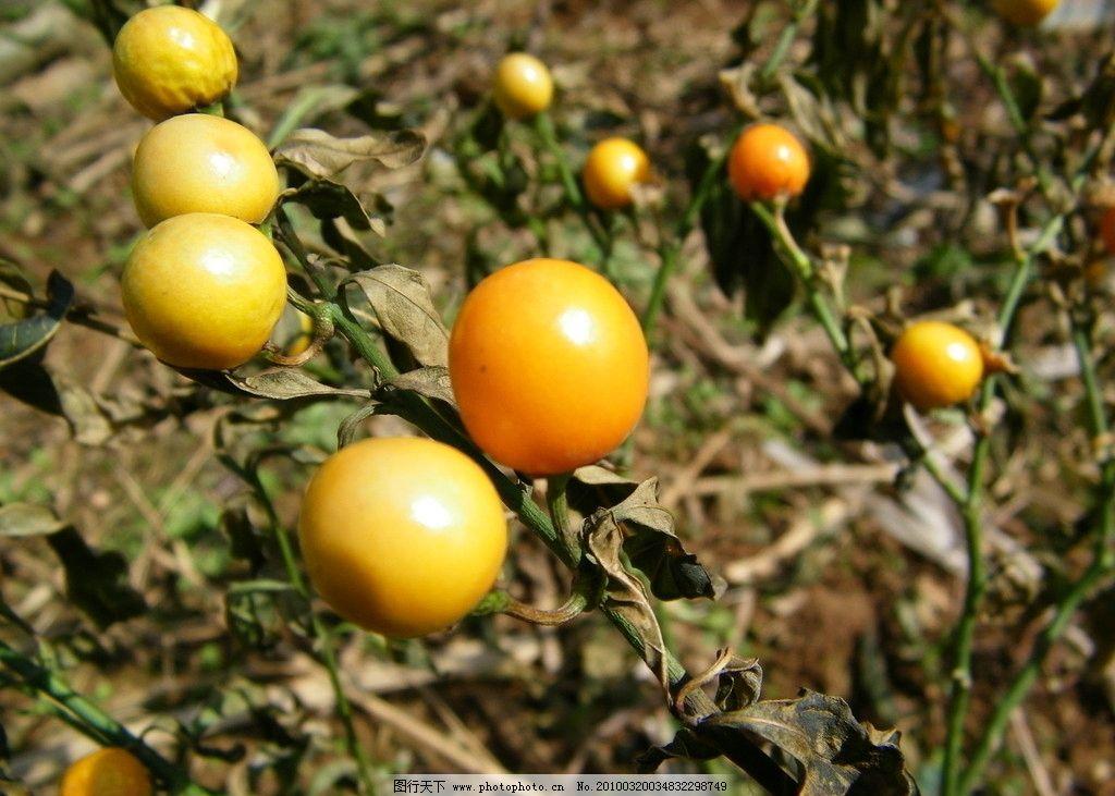 果实 黄色果子 特写 橘子 桔子 自然风景 自然景观 摄影 480dpi jpg