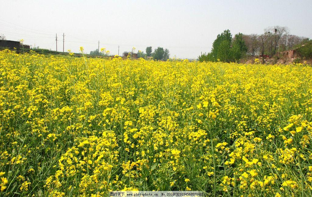 大面积油菜花 风光 春天景色 油菜花 田园风光 自然景观 摄影 300dpi