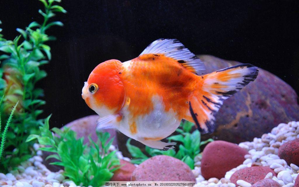 金鱼 红鱼 红色 水草 香港海洋公园 鱼类 生物世界 摄影 300dpi jpg