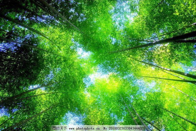 仰视竹林 仰视竹林免费下载 风光 风景 高清大图 植物 竹子 竹子