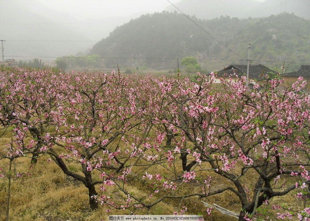 桃花 自然风景 自然景观 摄影