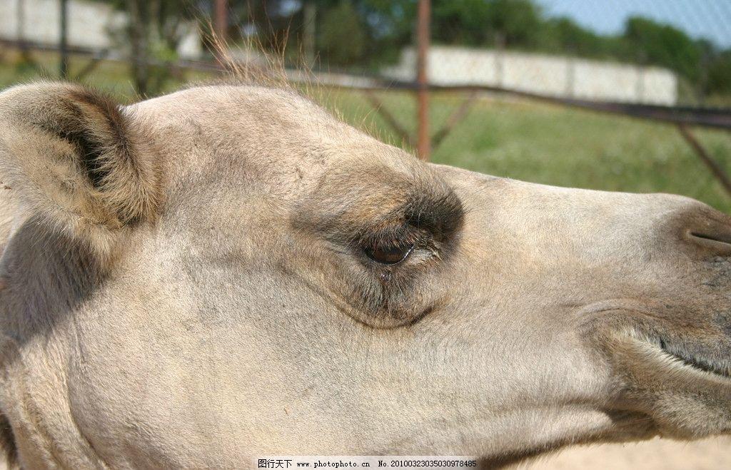 骆驼 野生动物 生物世界 摄影