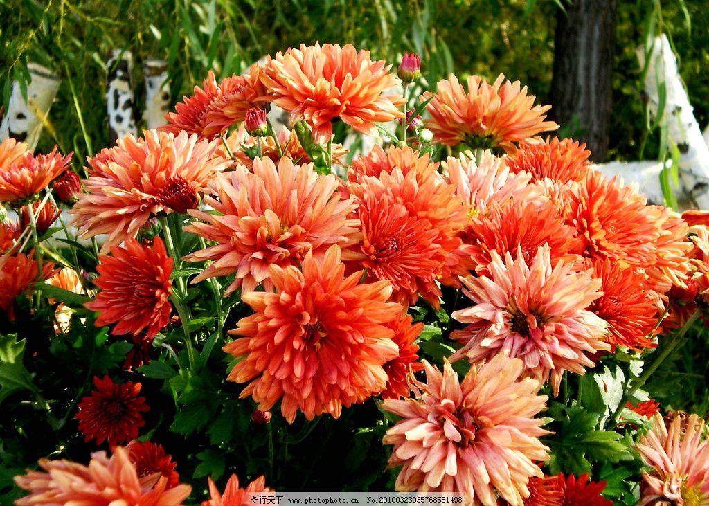 菊花 风景 旅游 植物 花朵 菊香 秋菊 鲜艳 盛开 红色 橙色