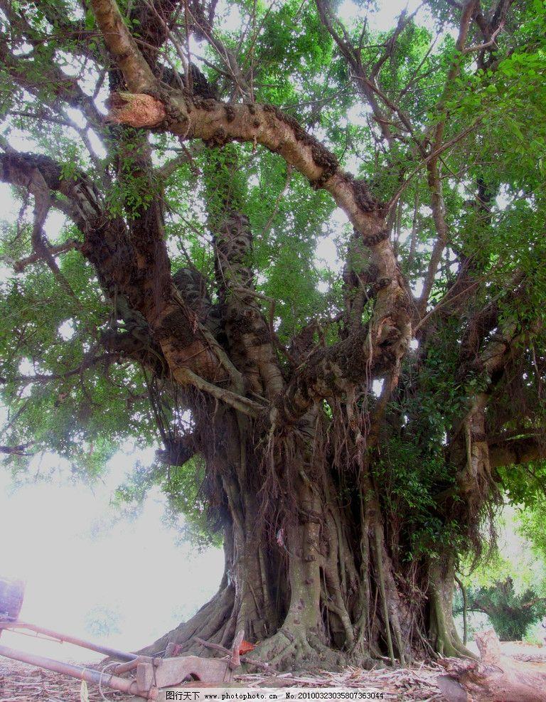 榕树 苍老 斑驳 树干 树根 落叶 绿色 树木树叶 生物世界 摄影 180dpi