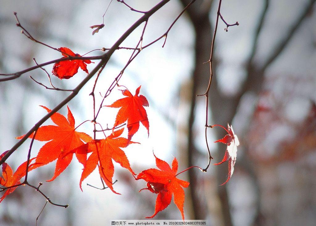 枫叶 秋天 红色 虚化 自然风景 自然景观 摄影 100dpi jpg