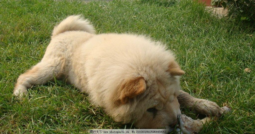 狗狗啃骨头 骨头 松狮 狗 可爱 搞笑 魅力狗狗 家禽家畜 生物世界