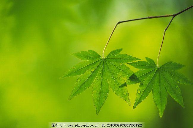 绿色枫叶 绿色枫叶免费下载 春天 美丽枫叶 朦胧背景 梦幻背景