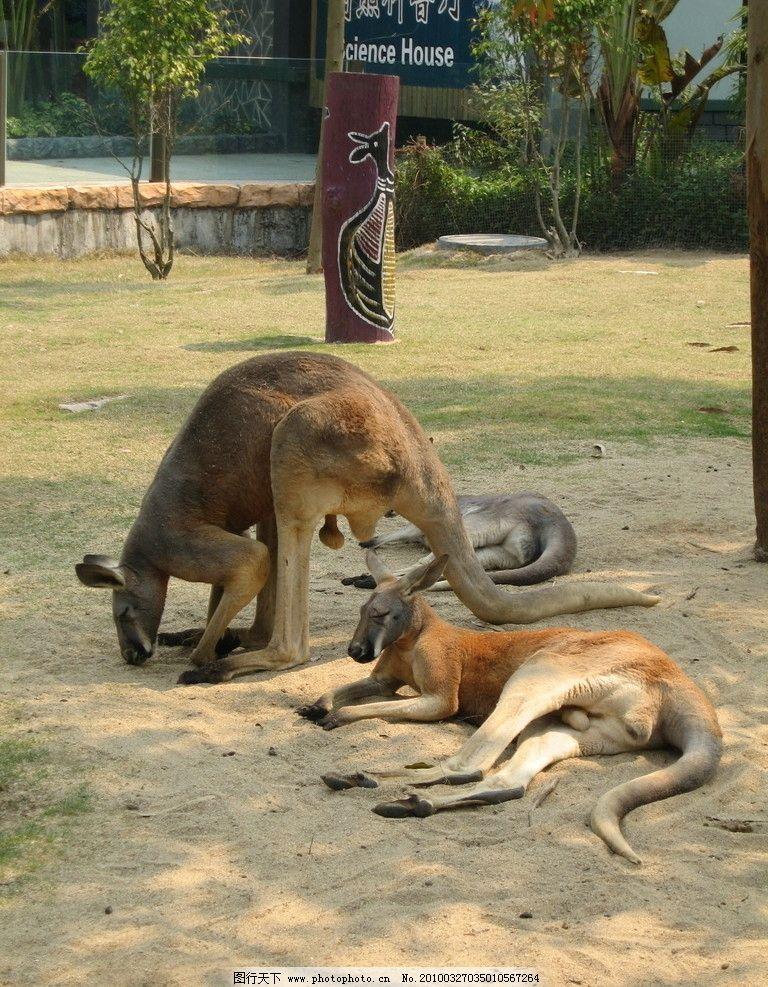袋鼠 动物 野生动物 生物世界 摄影 180dpi jpg