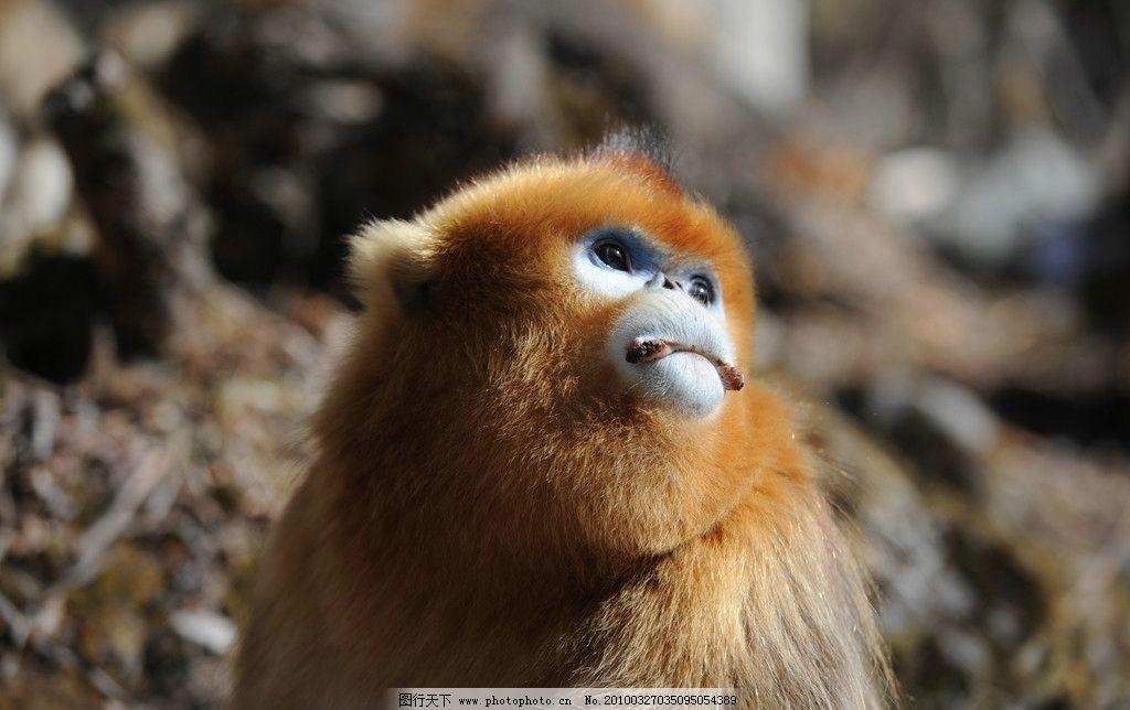 猴子 猩猩 棕色 森林 眼神 生物世界 摄影 动物 石头 野外 野生动物 3