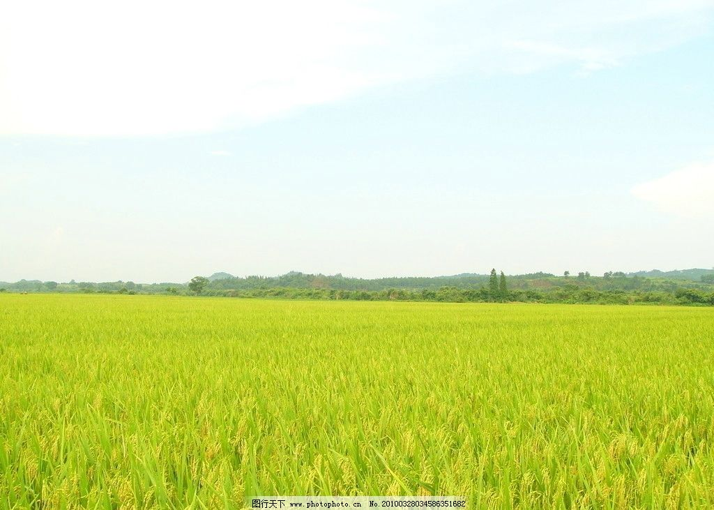 优质水稻 水稻 农业 科技 我的原作背景素材照片 自然风景 自然景观