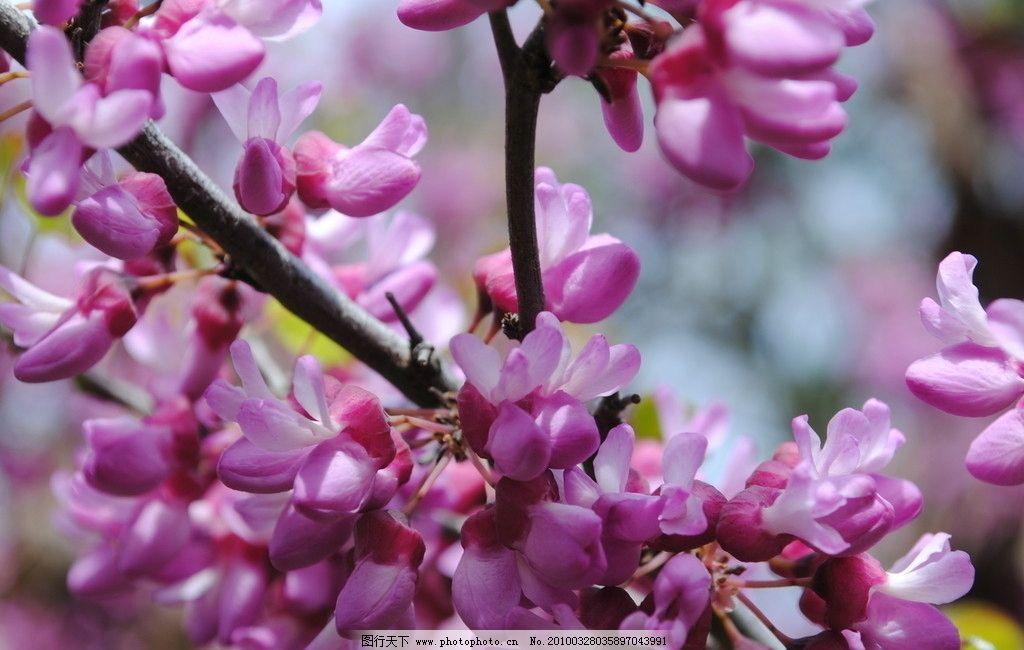 紫藤花 花草 树木 豆科植物 花蕾 粉红 树木树叶 生物世界 摄影 300