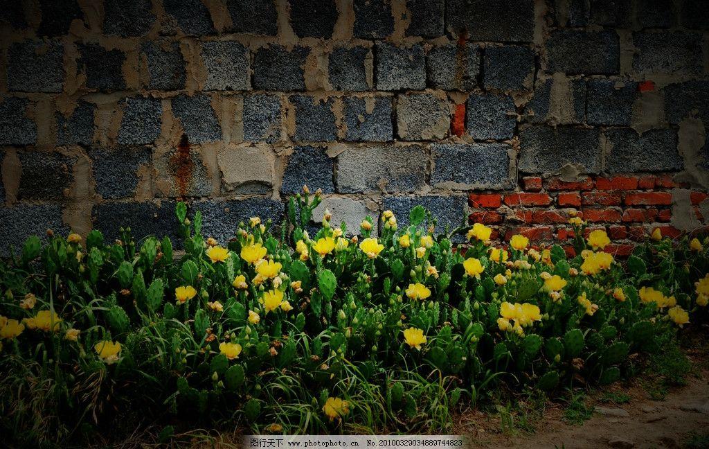 墙角下的花 短墙 仙人掌花 春天 自然风景 自然景观 摄影 300dpi jpg