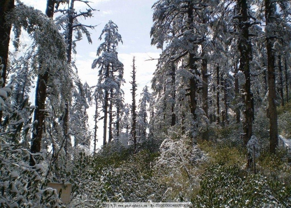 瓦屋山图片,松树 树挂 草地 绿色 雪景 自然风景-图行