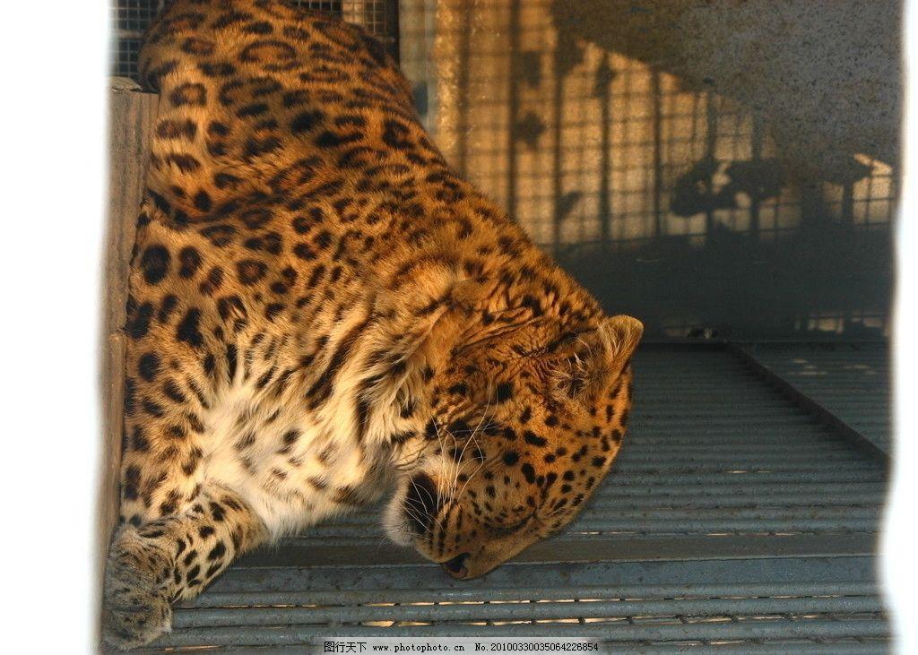 金钱豹 豹子 野生动物 生物世界 摄影 180dpi jpg