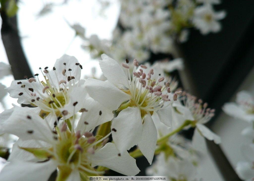 鲜花 白花 绿叶 梨花 树枝 花朵 花蕾 芯 自然风景 自然景观 摄影 72