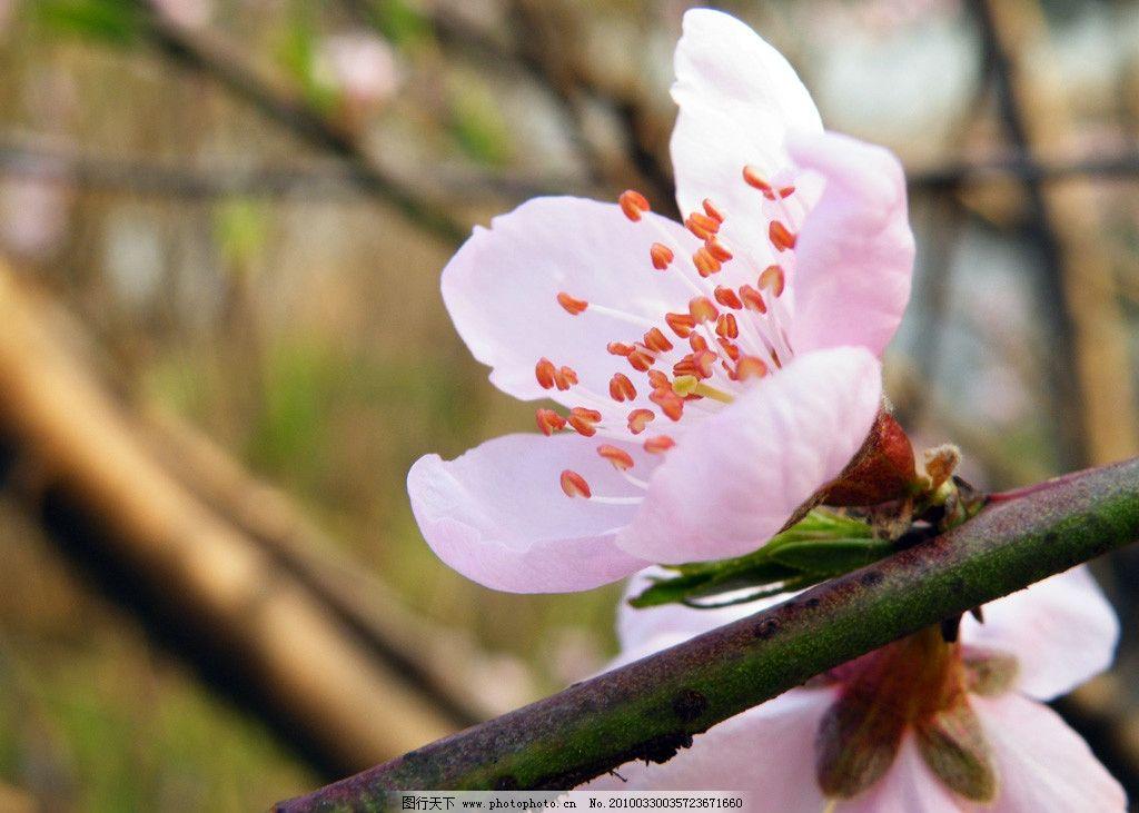 三月桃花 桃花 摄影 摄影图库 自然风景 自然景观 100dpi jpg