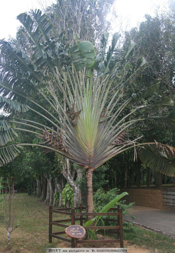 旅人蕉 热带树木 植物 芭蕉树 树木树叶 生物世界 摄影 72dpi jpg