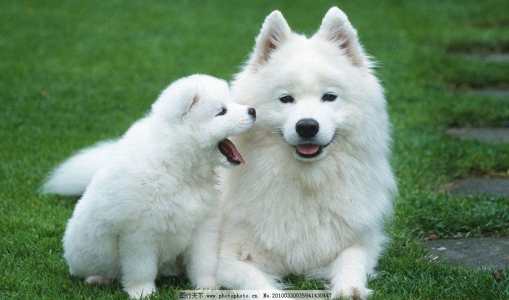 宠物狗 宠物 狗 摄影 宠物动物摄影 家禽家畜 生物世界 300dpi jpg
