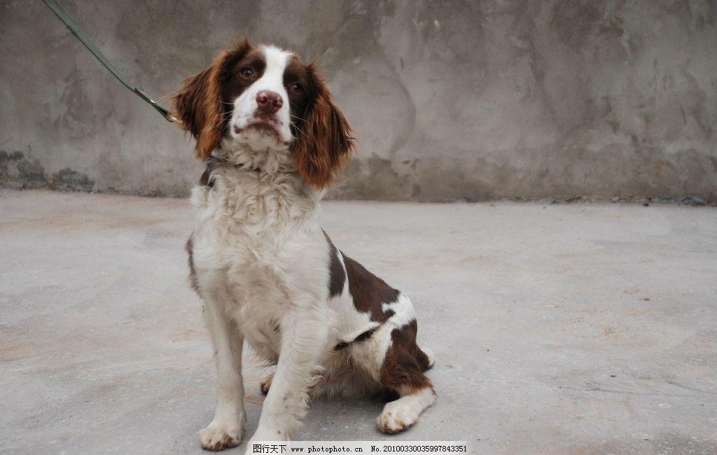 警犬 缉毒犬 搜爆犬 史宾格犬 家禽家畜 生物世界 摄影 300dpi jpg